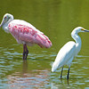 Roseate Spoonbill and Little Egret in a tidal pool.