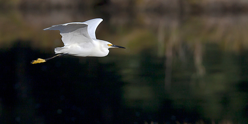Snowy Egret Flight, Rocky Neck State Park, CT