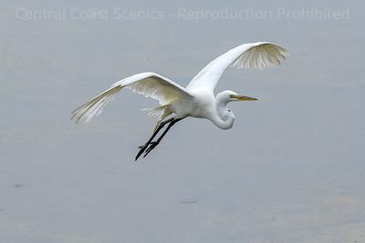 Great Egret in Flight 2