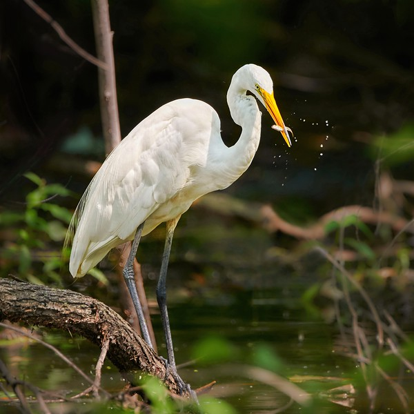 Great White Egret With Fresh Catch