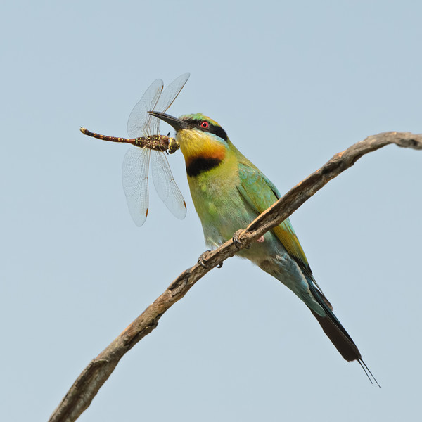 Rainbow Bee-eater with a Dragonfly, Federation Walk, Gold Coast, Queensland.