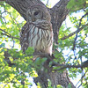Mama Owl Was Watching From Another Tree