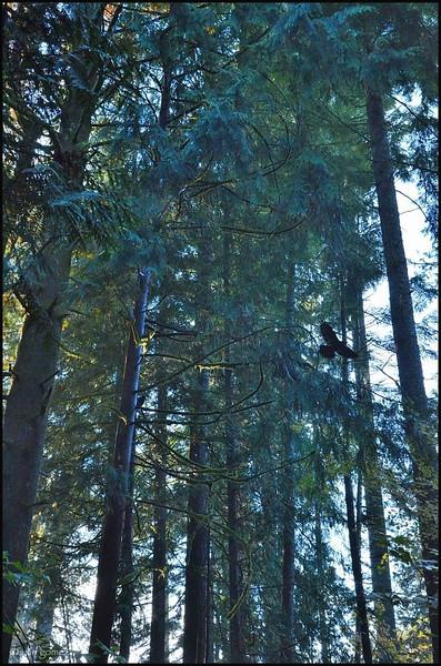 Crow Takes Flight