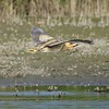 Bittern in flight at Otmoor 28th October 2016