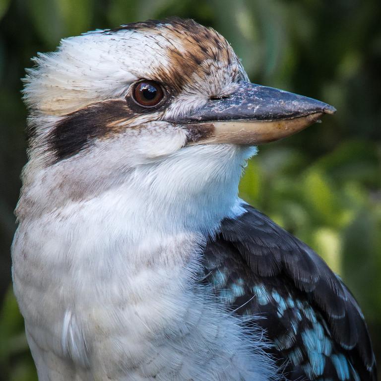 Portrait of a Kookaburra
