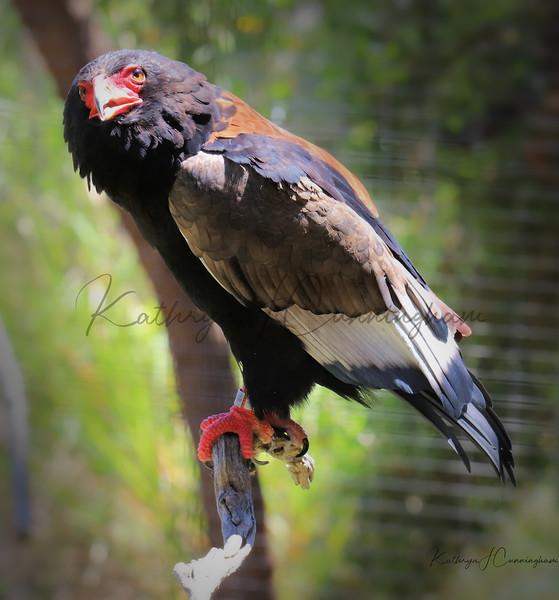 San Diego Zoo Eagle Africa Rocks 7.11.2019 Center Watermark.jpg