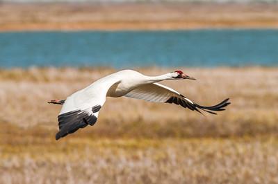 Whooping Crane, Aransas Wildlife Refuge, Texas.
