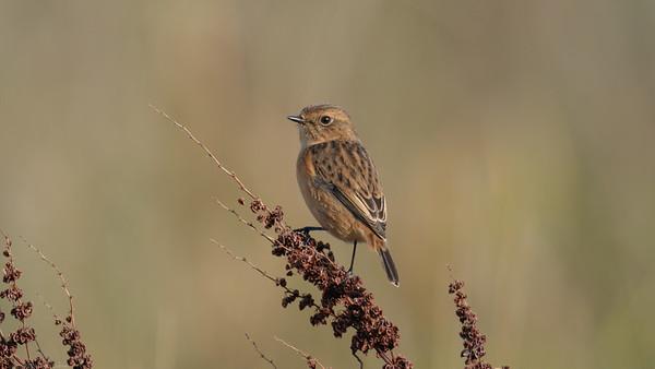 Female Stonechat 2 -  Speen Moors Walk