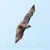 Red-Tail Hawk Soaring High View 2