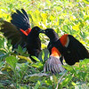 Red-winged Blackbird Death Match 3