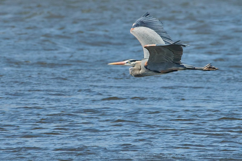 Great Blue Heron on the Misssissippi
