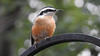 Red-Breasted Nuthatc