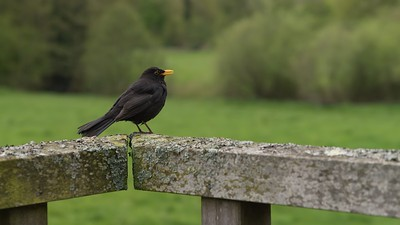 Blackbird on the new Monkey Bridge Northcroft Newbury