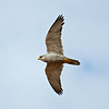 Grey Falcon in flight