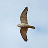 Grey Falcon in flight