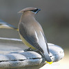 More Waxwings Showing Up At My Birdbath