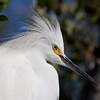 Snowy Egret IV