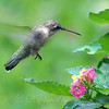 Lantana Hummingbird View 1