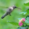 Lantana Hummingbird View 1