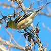 White Rock Lake Goldfinch View 2