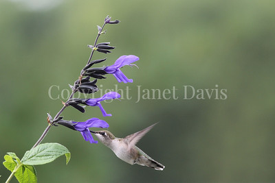 Archilochus colubris – Ruby throated hummingbird on 'Black and Blue' Hummingbird Sage 2