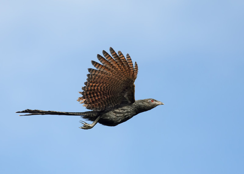 Pheasant Coucal in flight, Federation Walk, Gold Coast, Queensland.