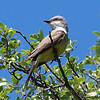 Western Kingbird In The Sunshine