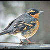 Varied Thrush ♂ ~ Ixoreus naevius