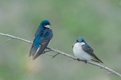 Swallows in a Tree