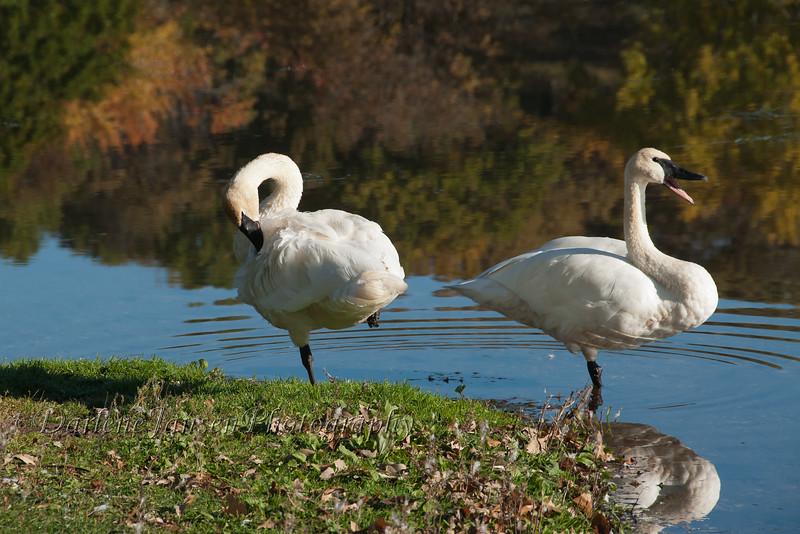 Pair of Trumpeter Swans