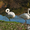 Pair of Trumpeter Swans