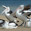 Pelicans, Unnamed Island, The Broadwater, Gold Coast, QLD.