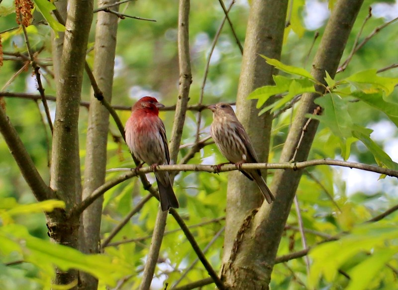 Finch couple...May 2020
