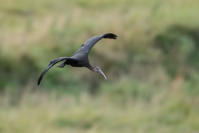 Bognefur / Glossy ibis / Plegadis falcinellus