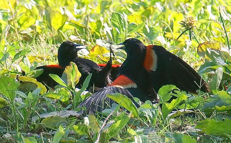 Red-winged Blackbird Death Match 2