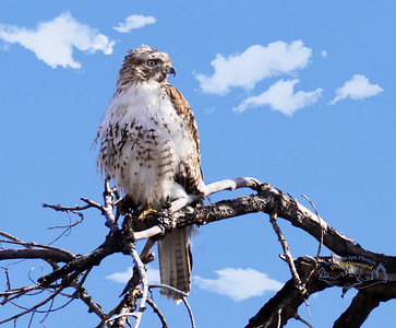 Juvinal Red-tailed Hawk