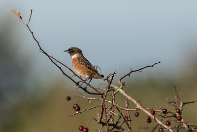 A Distant Stonechat at Greenham Common
