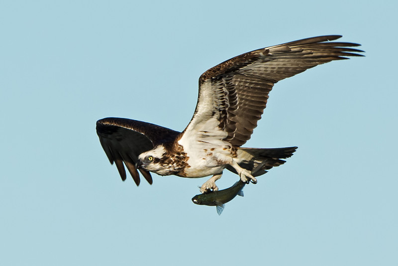 Eastern Osprey with a Fish, The Broadwater, Gold Coast, QLD.