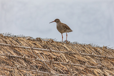 Redshank on Reed Rooftop