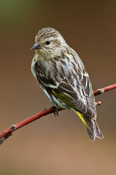 Pine Siskin. Not a very boldly colorful bird, but you do see more yellow on the tail and wings when it flies.