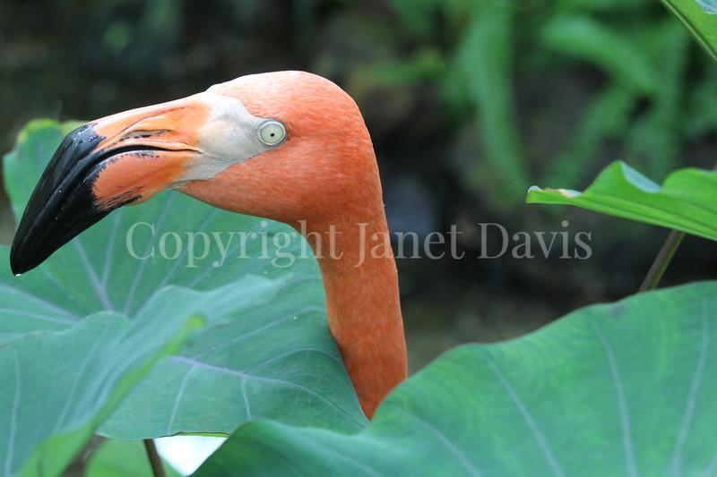 Phoenicopterus ruber – American flamingo 7