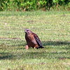 Hawk On The Ground
