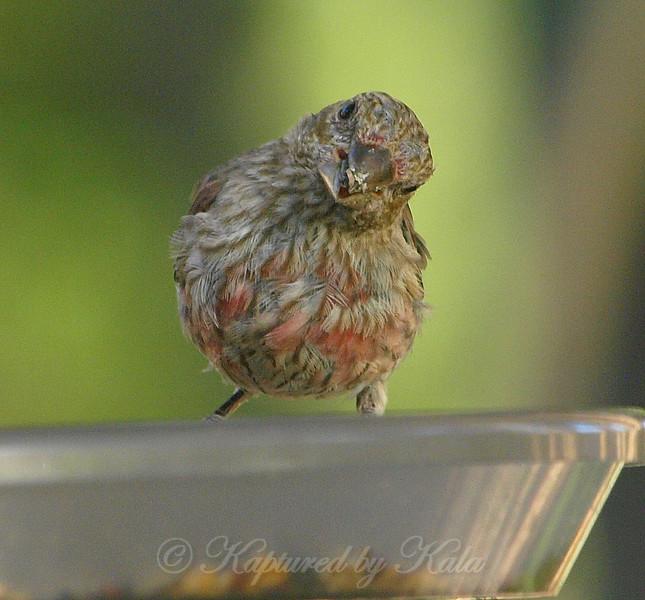 Juvenile Male House Finch View 2