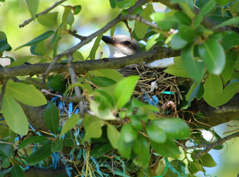 Mama Kingbird Sitting On Eggs
