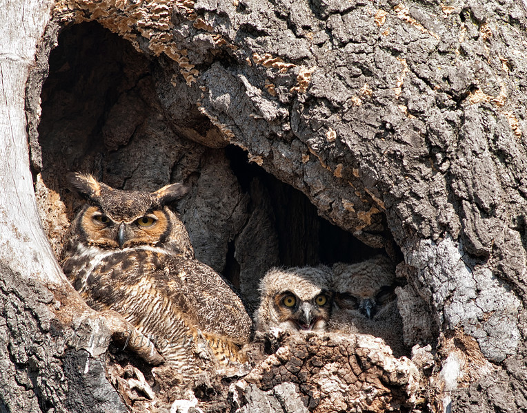 nature; birds; wildlife;  owls; owl family; great horned owl with owlets; great horned owl; wisconsin; darlene jansen photography;