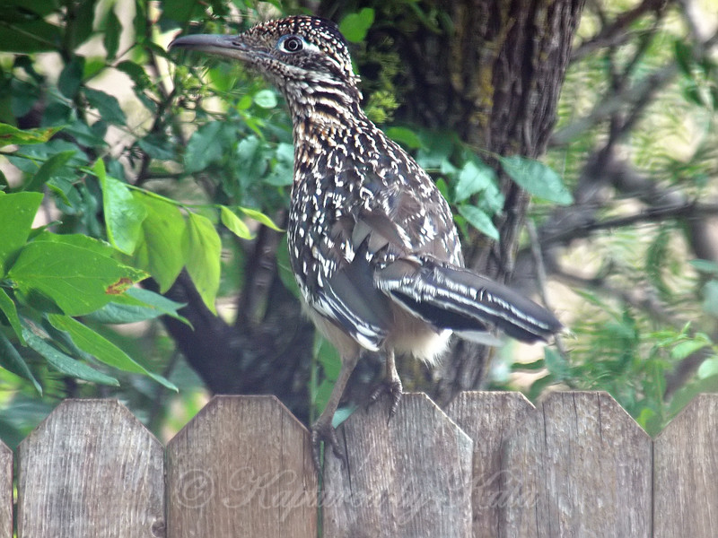 Greater Roadrunner With Crest Down