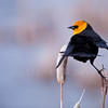 Yellow - Headed Blackbird