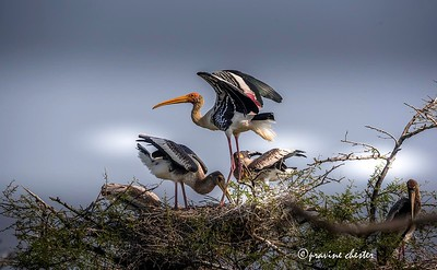 Painted Stork Family