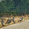 Wild Turkey Hens
