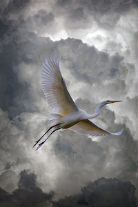 Egret With Thunderheads